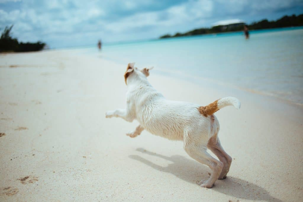 A dog frolicking on the beach at Scotland Cay, The Bahamas.